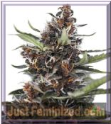 Dutch Passion Automatic Blackberry Kush Cannabis Seeds